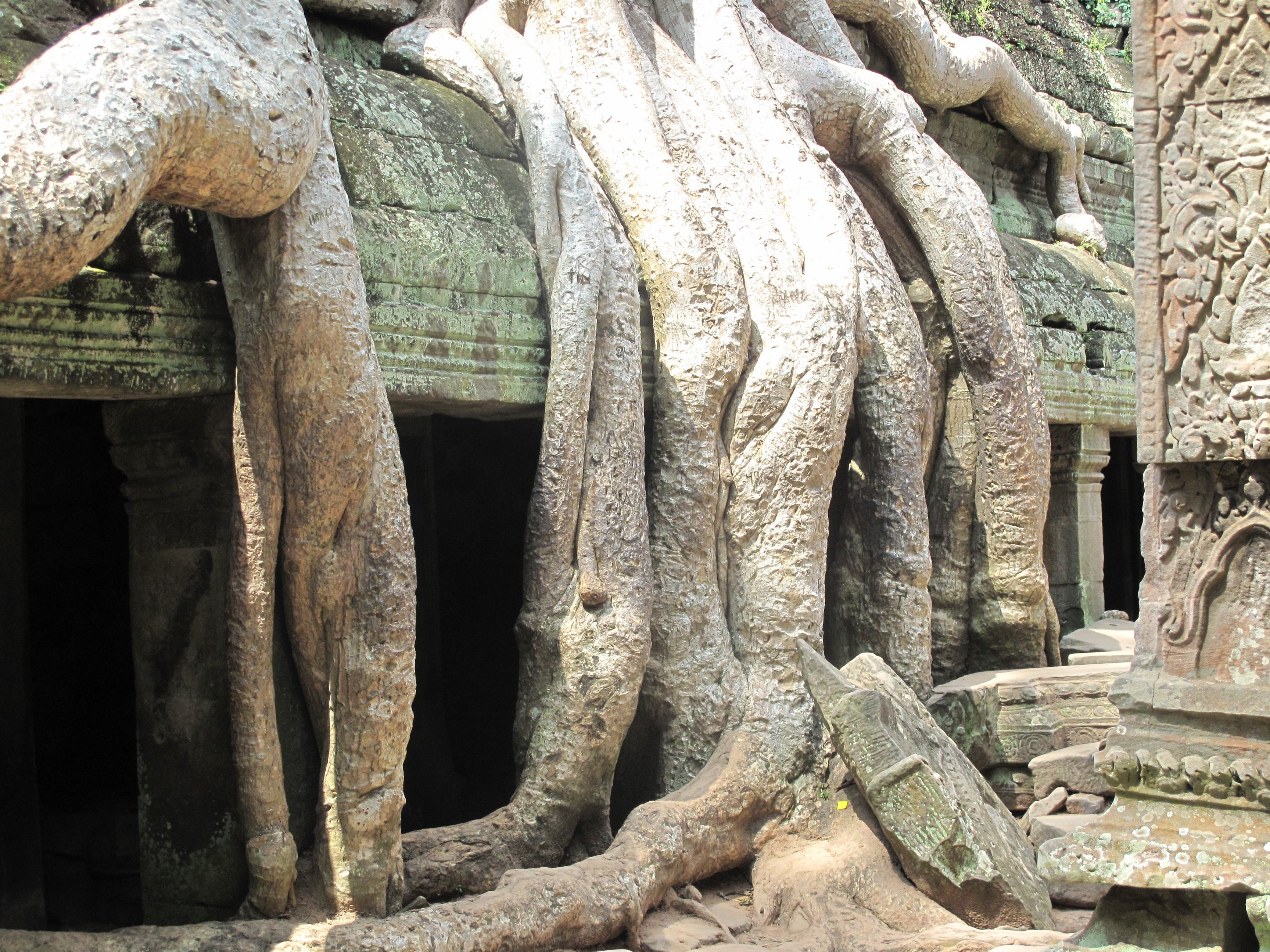 Tree Roots Temple  Cambodia