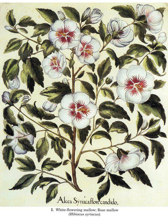 Old botanical plate