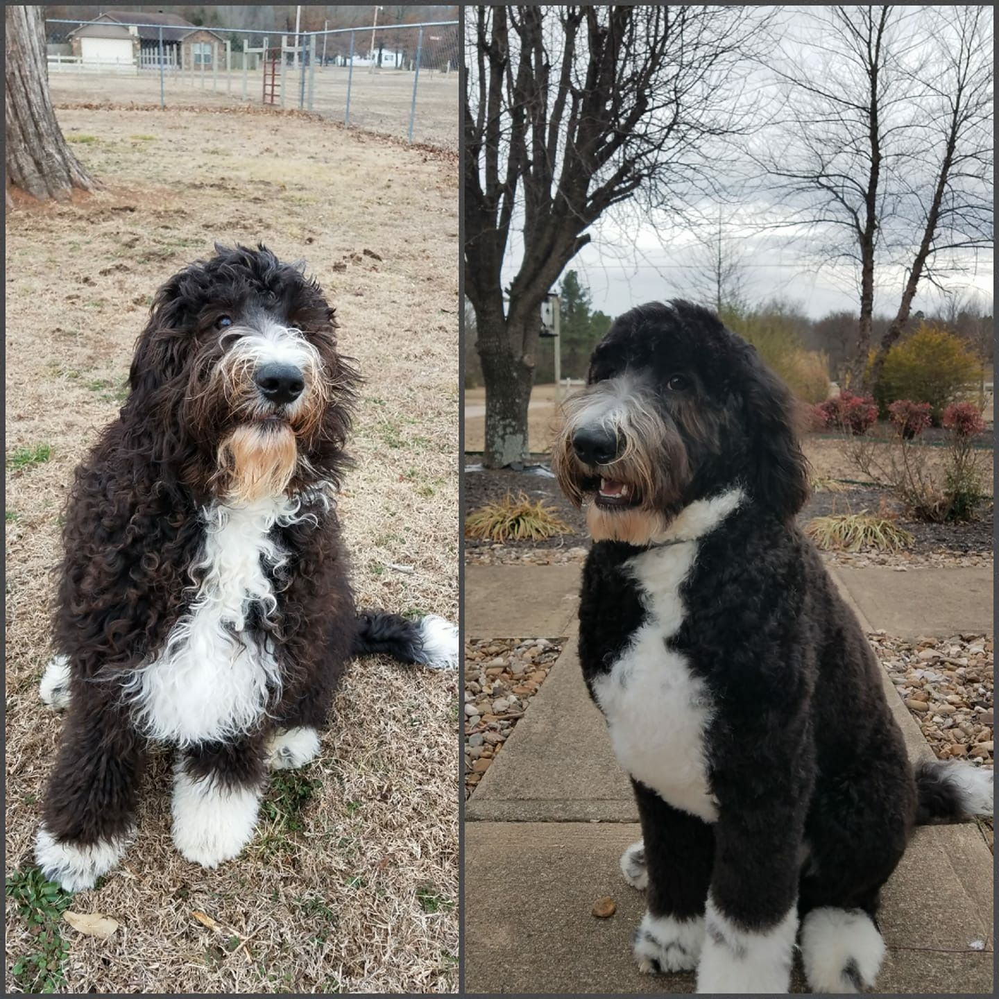 Pin By Alyssa Edwards Himes On Doggie Grooming Bernedoodle