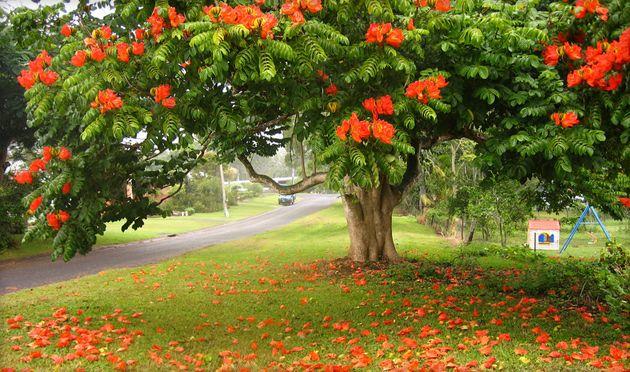 Тюльпановое дерево или лириодендрон | Цветущие деревья ...