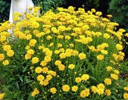 Image result for yellow daisy clumps photos