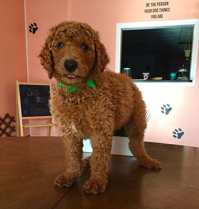 Ridley F1b Dark Red Medium Sized Goldendoodle Goldendoodles