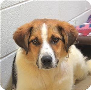 Delaware Oh Border Collie Beagle Mix Meet Marco A Dog For Adoption Http Www Adoptapet Com Pet 11182238 Delaware Ohi Pets Dog Adoption Border Collie Mix