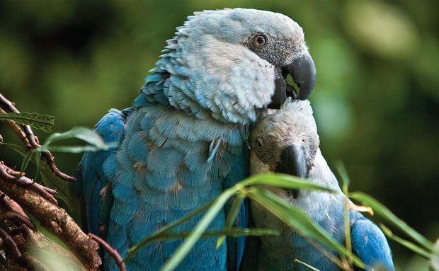 Conhecido Ararinha-azul (Cyanopsitta spixii): vive na Caatinga.   brazilian  BN97