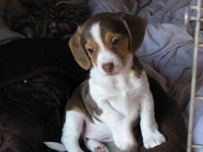 Old English Pocket Beagle Puppies For Sale Zoe Fans Blog