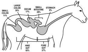 Horse digestive system #Arabians #Education # ...