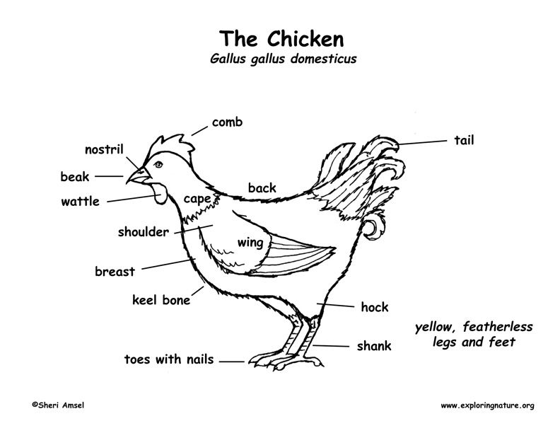 Diagram Of A Chicken - ( Simple Electronic Circuits ) •