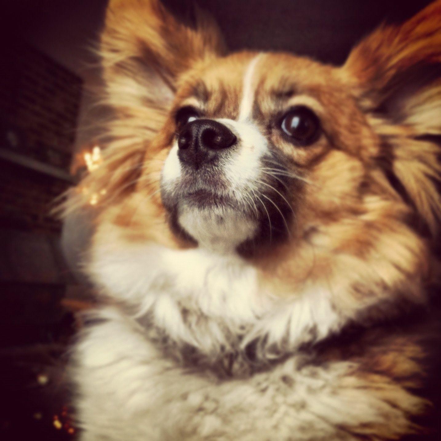 Dog Ready For Adoption Australian Shepherd Papillon Mixed Medium | Dog ...