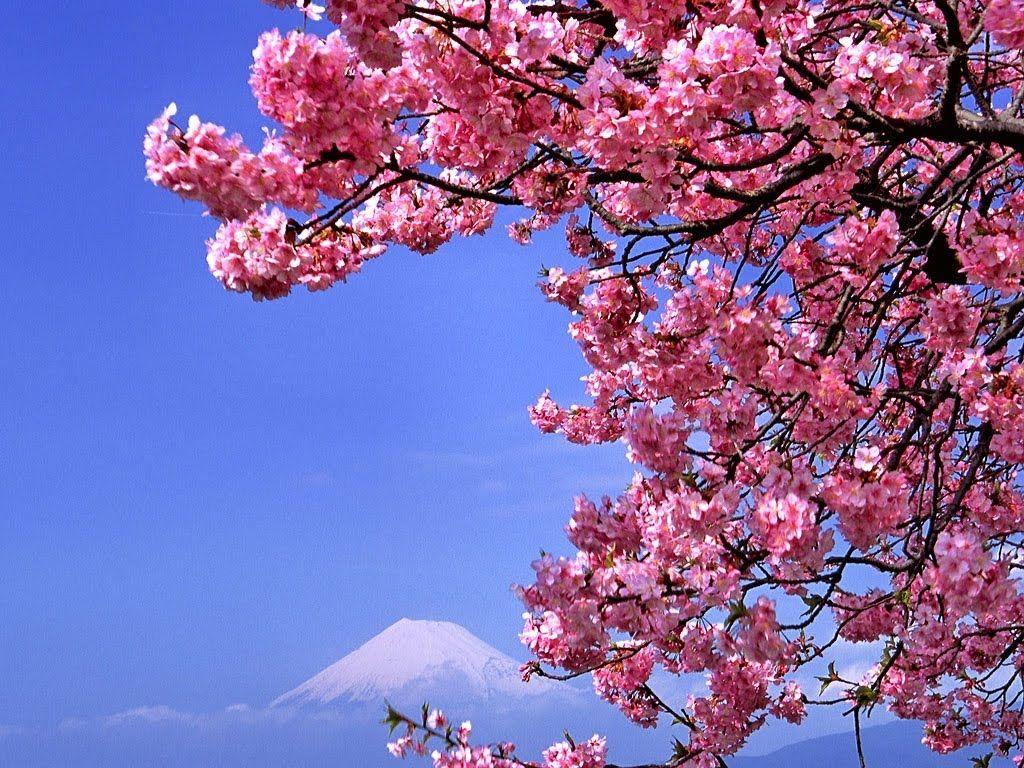 Wallpaper Bunga Teratai Cherry Blossom Wallpaper Cherry Blossom Painting Flower Wallpaper