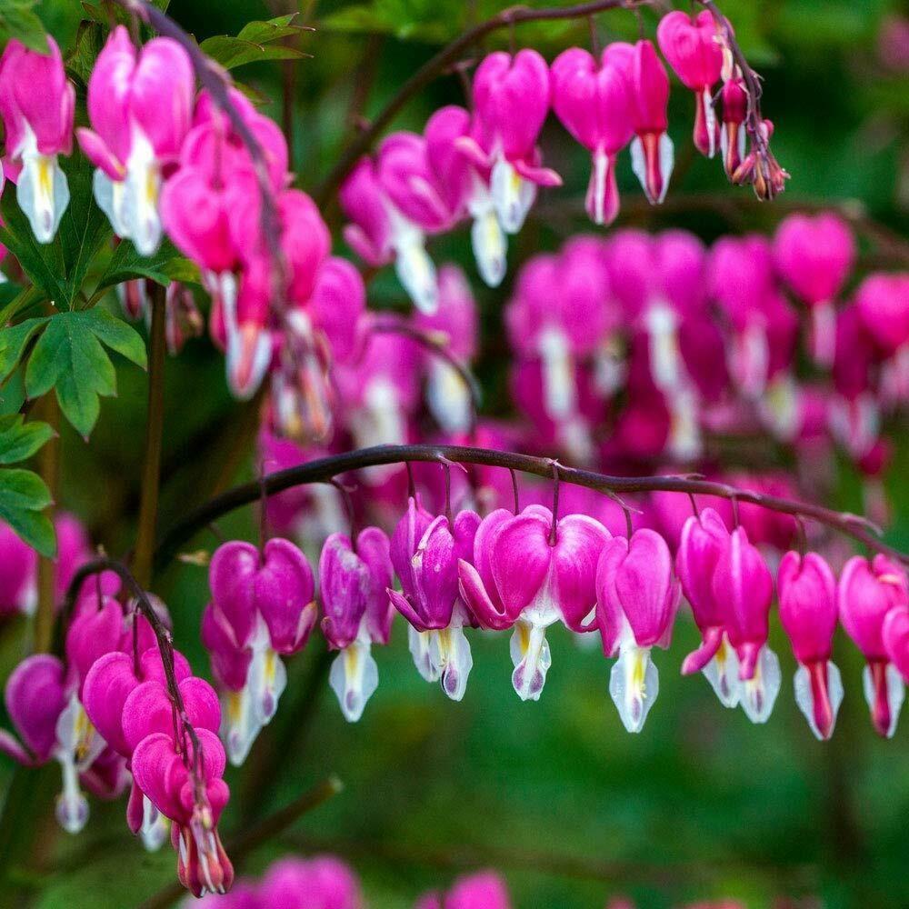 Dicentra Pearl Drops Rhs Gardening Prefer Dicentra Spectabilis Alba Plant Finder Plants Propagating Plants
