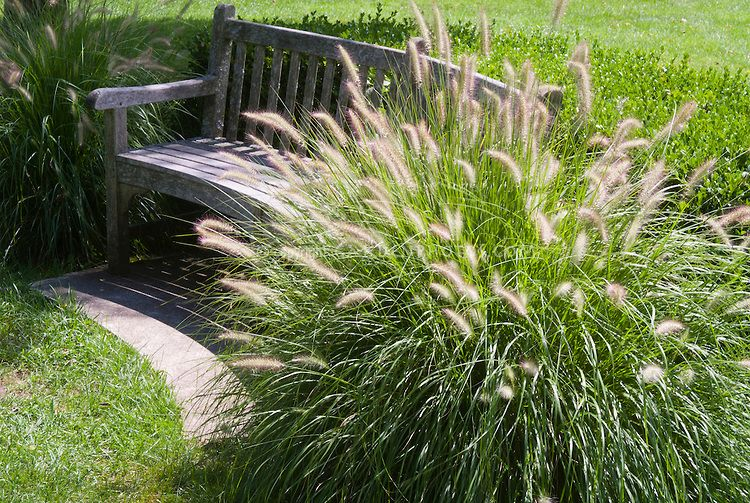 Pennisetum alopecuroides 39 hameln 39 dwarf fountain grass for Fountain grass