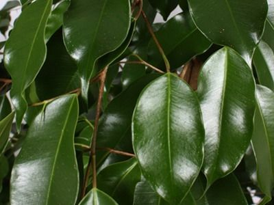 Комнатное растение фикус Бенджамина: фото, сорта и ...