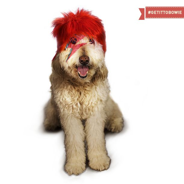 Community Post: Dogs That Look Like David Bowie