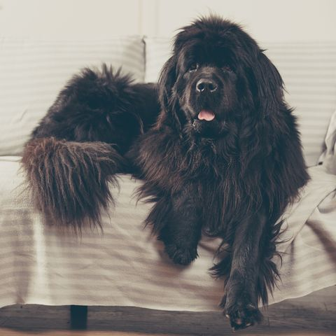 Newfoundland: If you live in an area where it's cold all year-round and are looking for a big dog that the kids can cuddle, the Newdfoundland is the breed for you.