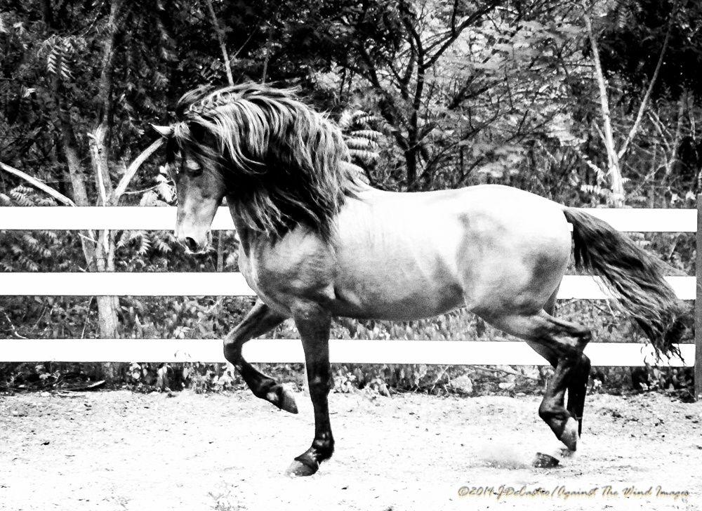 """Strutting Stallion"" JDeCastro-AgainstTheWindImages-7399"