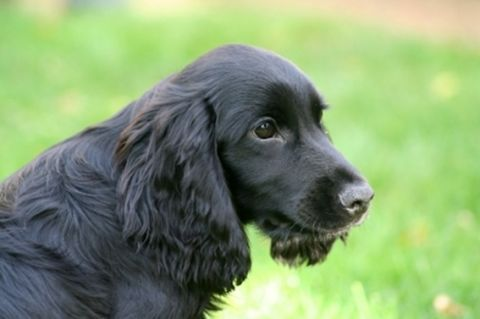 English Er Spaniel Puppies Breeders Training And Pictures