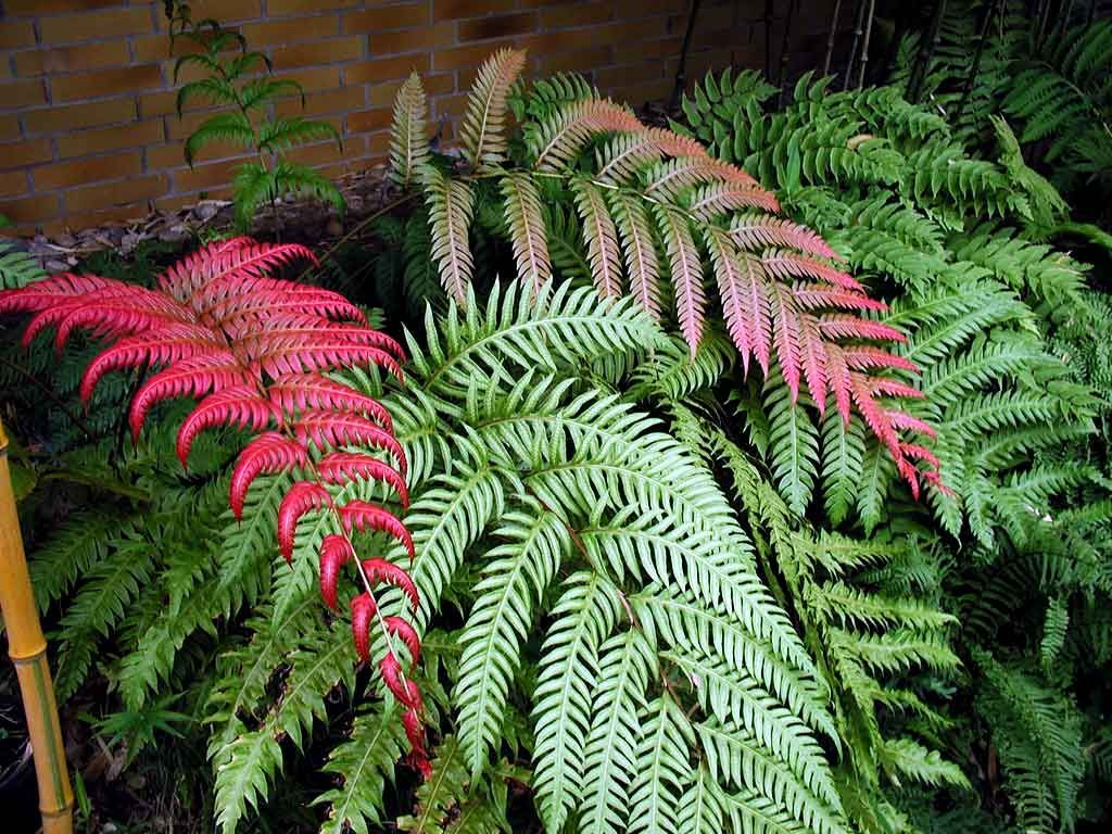 1 Pflanze Athyrium Gartenfarn mehrj/ährig BALDUR-Garten Winterharter Schmuck-Farn Japanese Painting