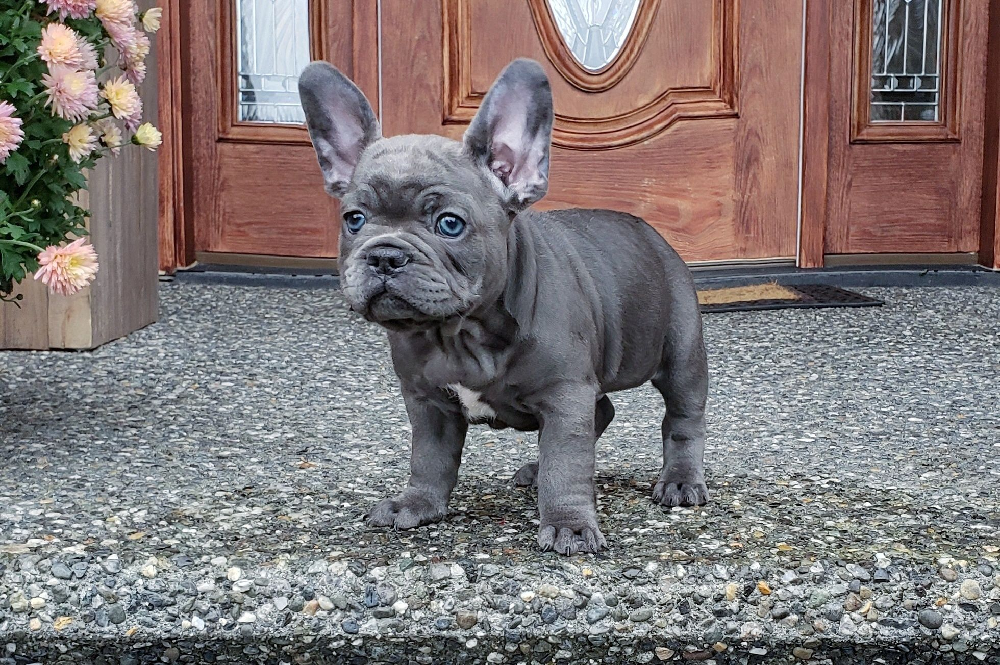 French Bulldog Breeder Luxurious French Bulldogs French