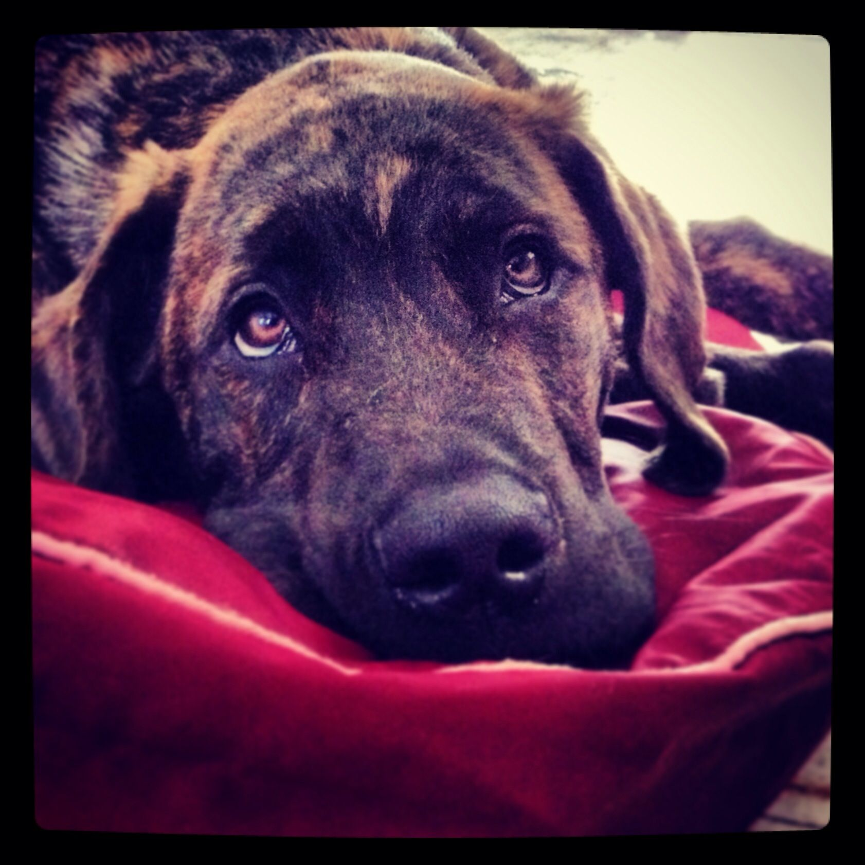 4 month old brindle daniff puppy dogs and such pinterest dog 4 month old brindle daniff puppy nvjuhfo Choice Image