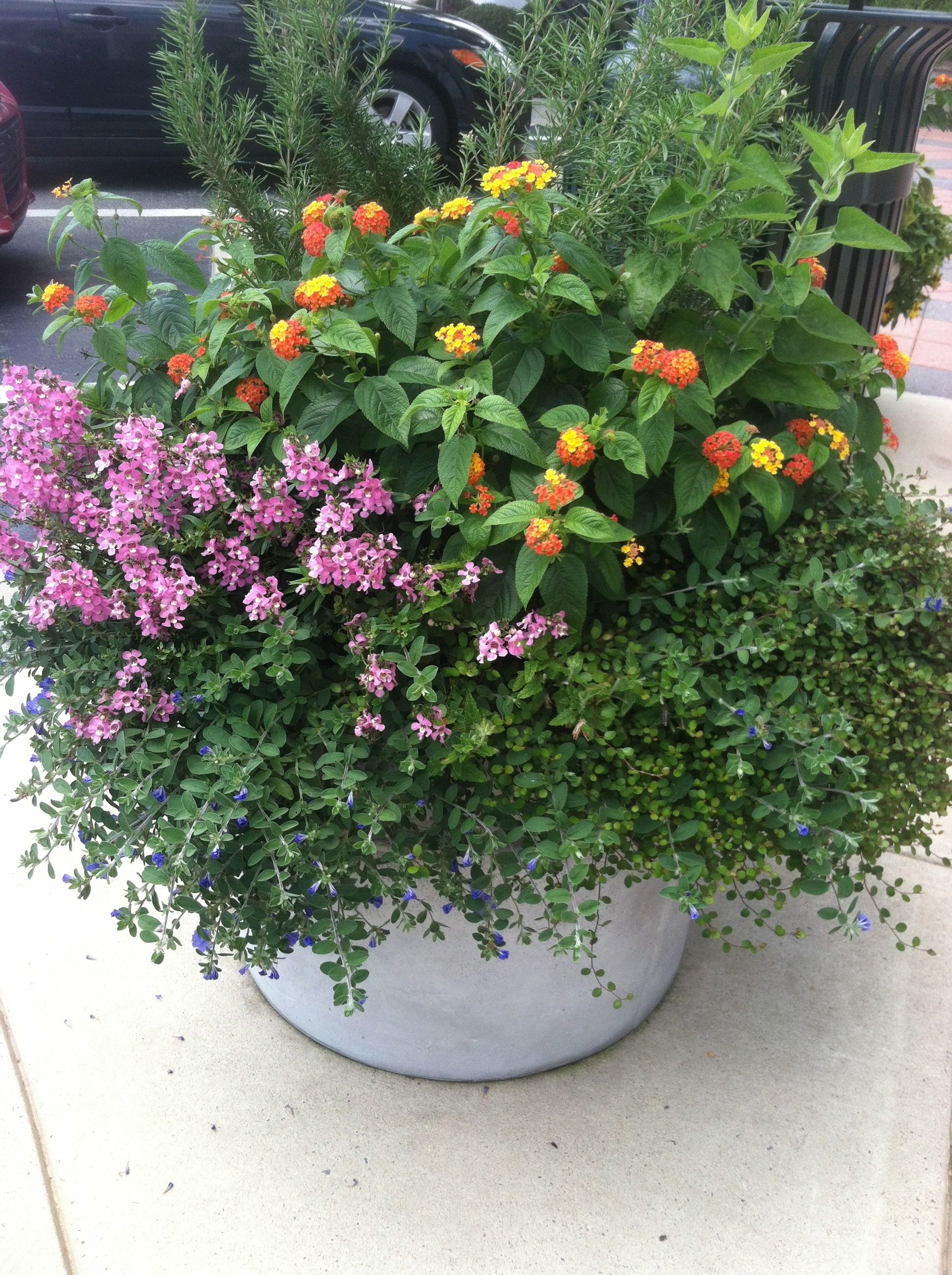 Rosemary lantana angelonia and trailing plants make a for Large garden planter ideas