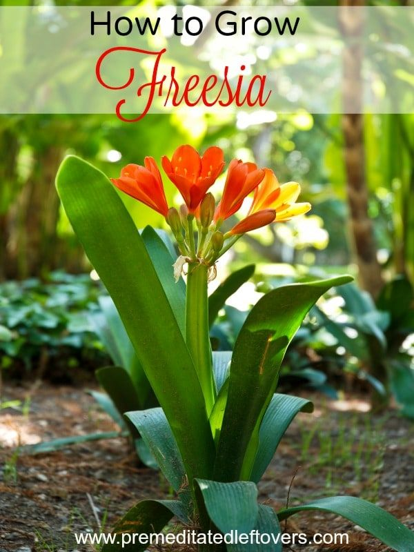 7 Tips For Growing Freesia Freesia Has A Sweet Smell And Delicate Trumpet Blooms That Come In Many Colors Freesia Flowers Indoor Flowering Plants Garden Bulbs