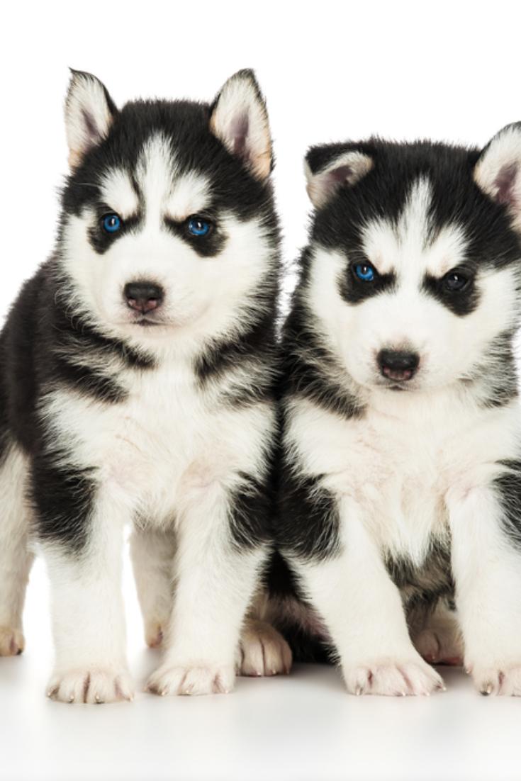 Two Cute Husky Puppies Siberianhusky Siberian Husky Siberian Husky Puppies Cute Husky Puppies