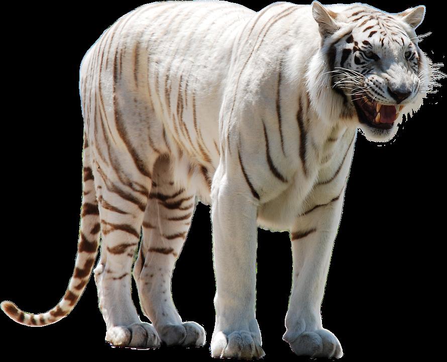 Tigre Blanco Png Buscar Con Google White Tiger Tiger Pet Tiger