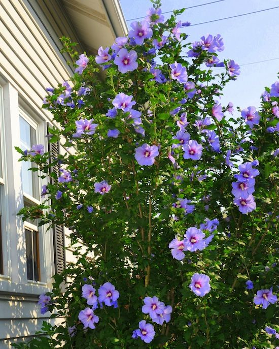 Rose Of Sharon Bush With Images Rose Of Sharon Bush Outdoor