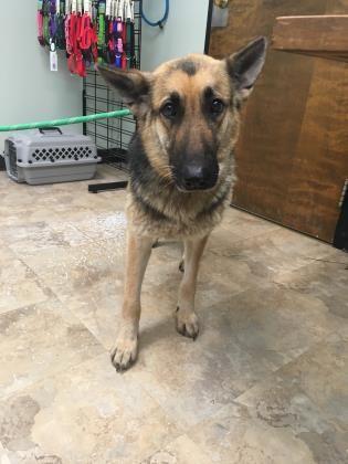 German Shepherd Dog Dog For Adoption In Kansas City Mo Adn