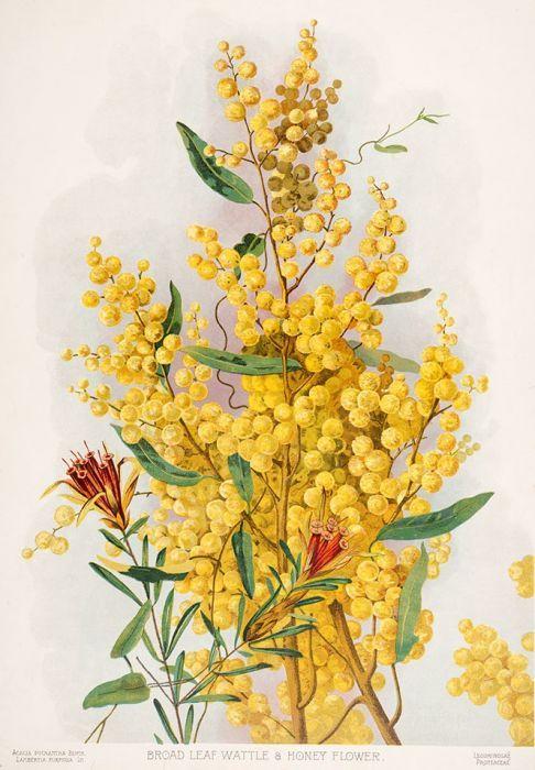 Acacia Pycnantha Lambertia Formosa Broad Leaf Wattle Honey Flower 1901 1904 By Margaret Flockto Botanical Painting Flower Art Painting Botanical Drawings