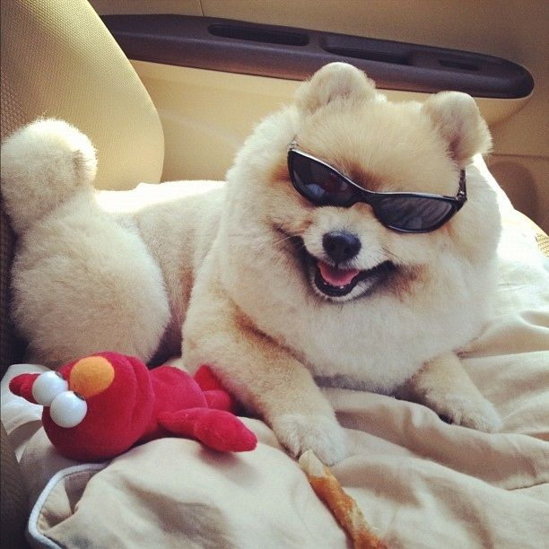 14 Reasons Why Mixfon Is The Big Deal New Pomeranian Puppy Lover