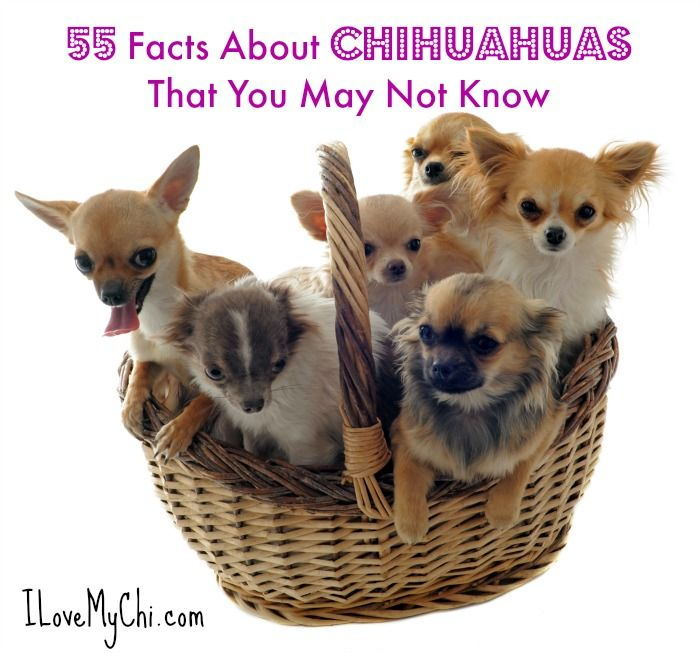 55 Facts About Chihuahuas That You May Not Know Chihuahua Dogs