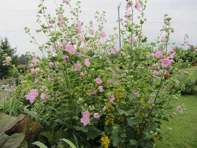 Elämää erimuodossa: ruusumalva