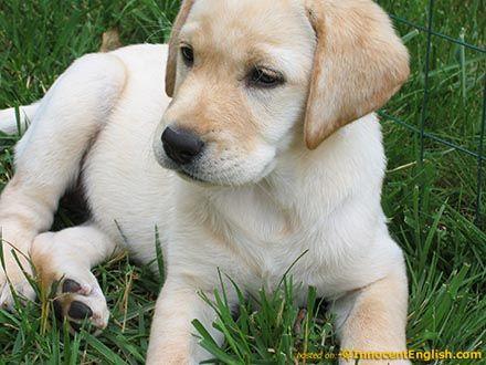 Labrador Retriever High Energy Level Very Playful Very