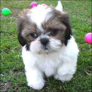 Shih Tzu Puppies!!!