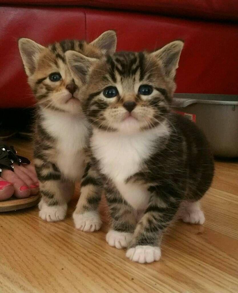 Last two Tabby kittens for sale ready now Tabby kittens
