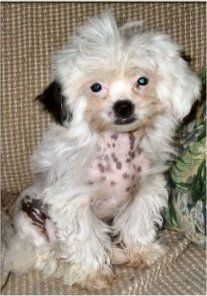 Dd 601 Crested Tzu Puppy Dogs Purebred Dogs Dog Breeds