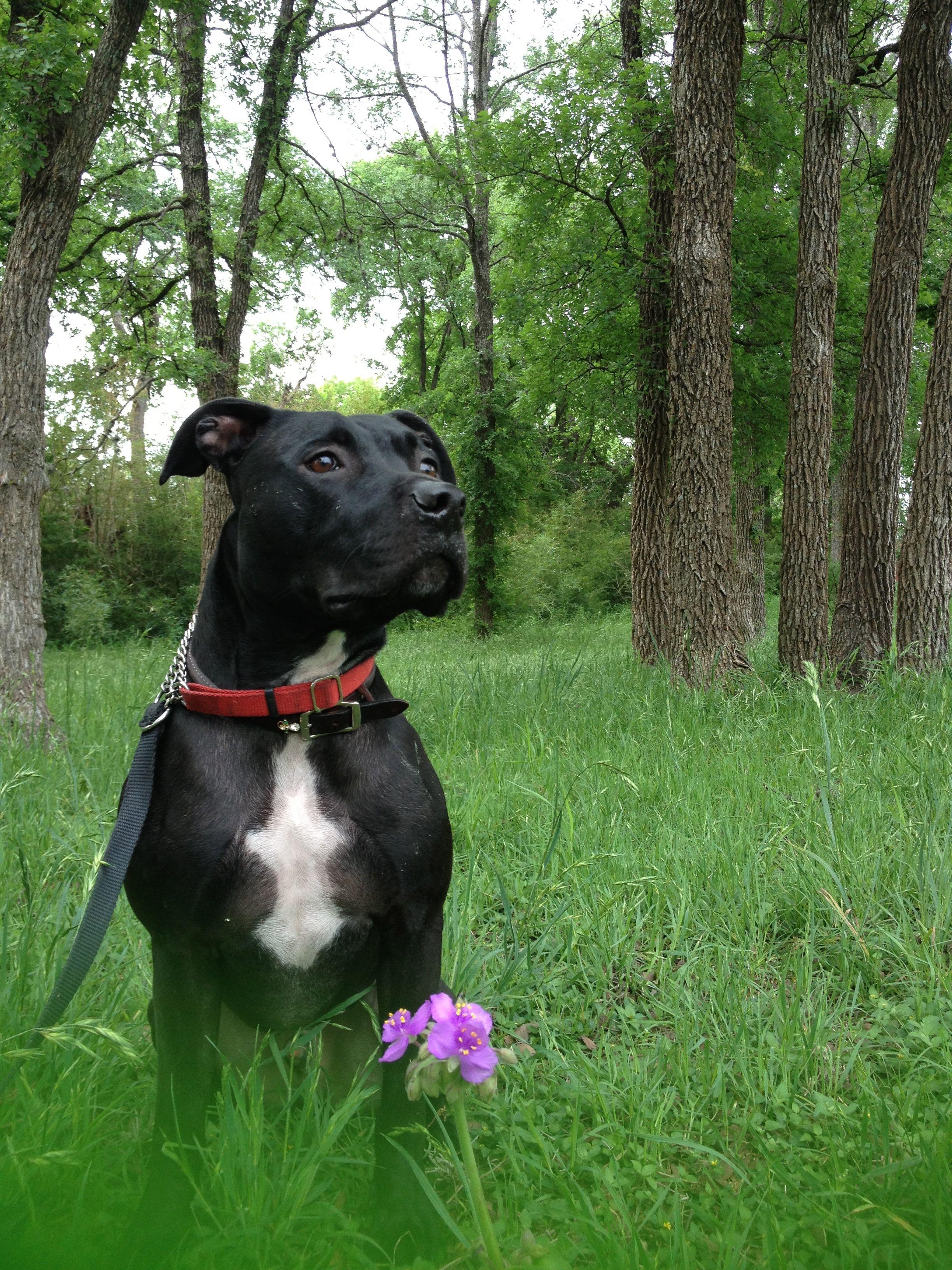 pitbull dogs   black pitbull dog iphone wallpaper   Funny and Cute Black HD Pet Dog ...