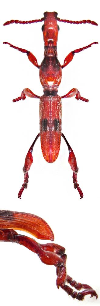 Cyphagogus crassitarsus