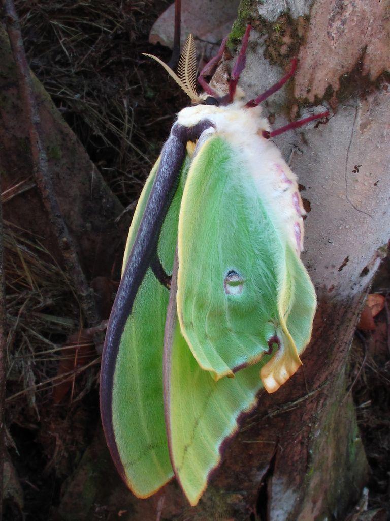lime-green luna moth.