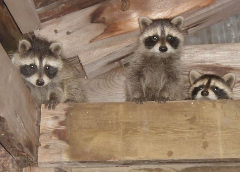 undefined in 2020 Large animals, Getting rid of raccoons