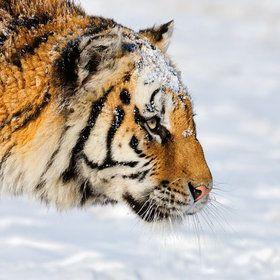 Siberian Tiger by Marsel van Oosten