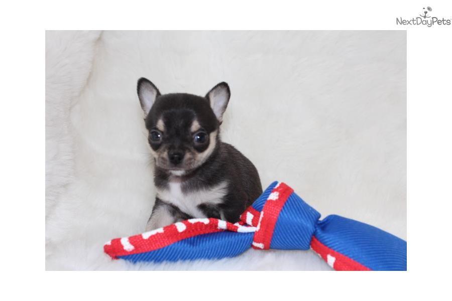 Chihuahua Puppy For Sale Near Southeast Missouri Missouri