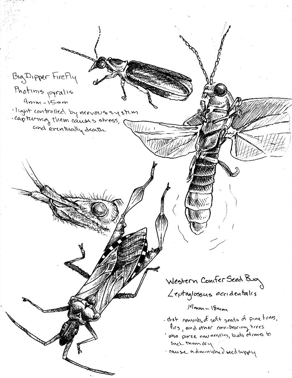 Scientific Illustration : hatching cross-hatching techniques ... for Firefly Drawing Scientific  181obs