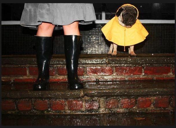 Pug in raincoat