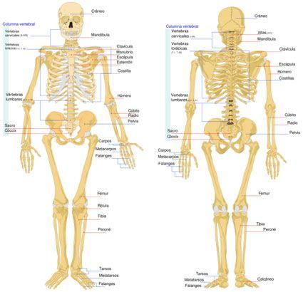 Esqueleto humano y sus partes principales - Imagui | CIENCIAS ...