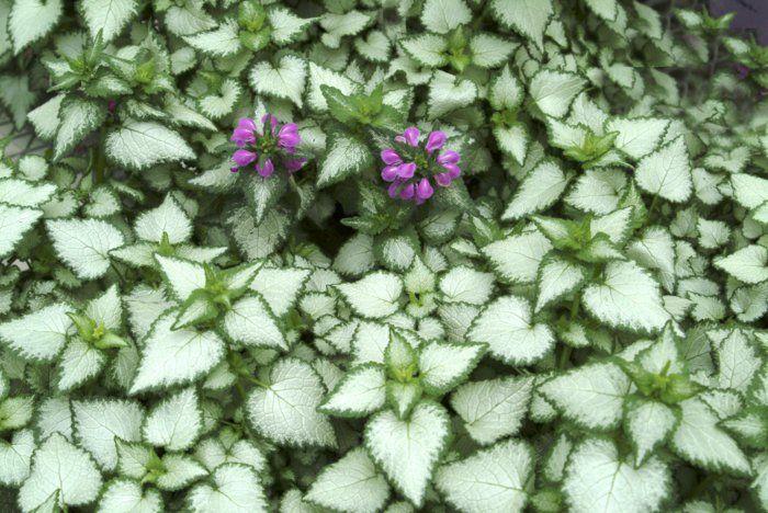 schattenpflanzen in prachtvollen farben f r einen magischen garten wildkr uter wildfr chte. Black Bedroom Furniture Sets. Home Design Ideas