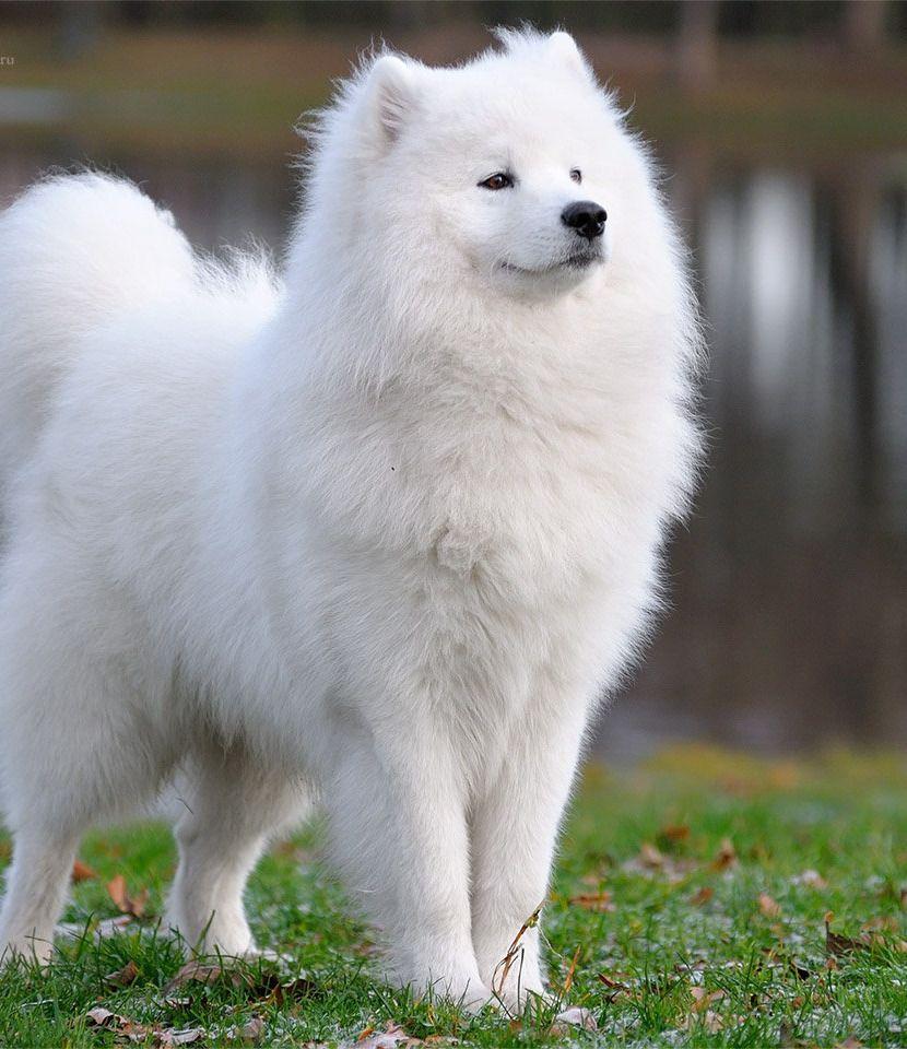 Samoyed Dog Category Köpek