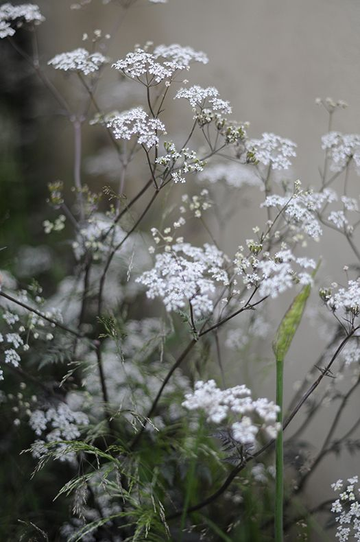 Svartbladig hundkex ( Anthriscus sylvestris) - love these and they grow wild - looks wonderful in a big vase or jug...