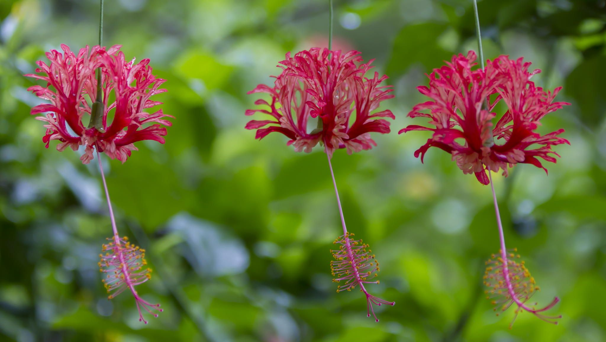 Coral hibiscus, also known as Japanese lantern or spider